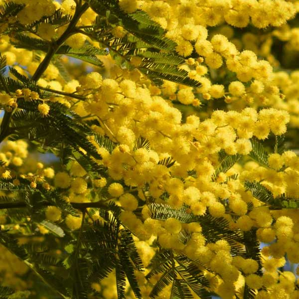 acacia, toxic plants, yellow plant