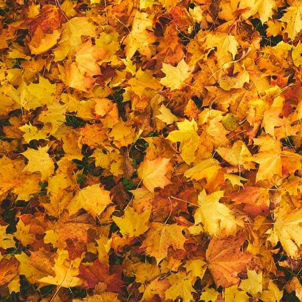 maple leaves, maple leaf, yellow maple, grass, slow leaves to breakdown for leaf mould.