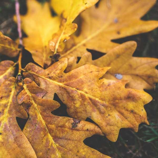 oak leaves, grass, yellow oak, quick leaves to break down for leaf mould