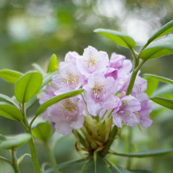 Rhododendron, Pink Leaves, Foliage